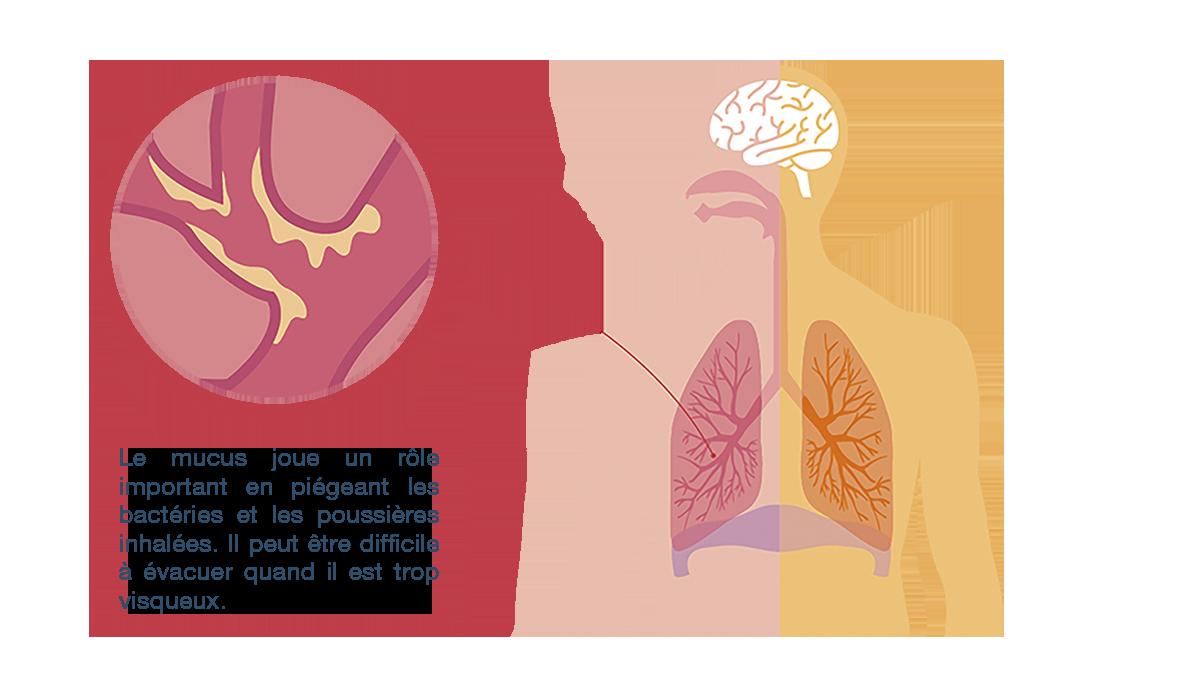 schémas mucus dans poumons